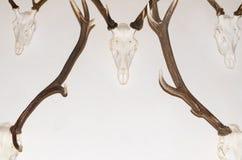 Deer Antler Trophies. On White Wall Symmetric Closeup stock photo