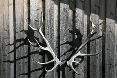 Deer antler Royalty Free Stock Images