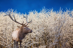Deer antlered stands on edge of the forest Stock Images