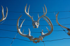 Deer antlers. And skulls on wire fence royalty free stock photo