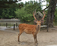 Deer with antlers Royalty Free Stock Photo