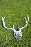 Deer Antlers. A sun bleached deer skull with horns Royalty Free Stock Image