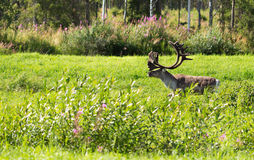 Deer with antlers on a background of green grass. Adult deer with antlers on a background of green grass and forest Stock Photos