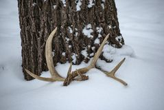Deer antlers beneath a tree in the snow stock photography