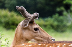 Deer with antlers Royalty Free Stock Photography