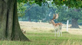 Deer with antlers, Gloucestershire royalty free stock photo