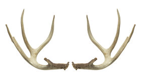 Deer Antlers. Pair of Deer Antlers Isolated on White Background royalty free stock images