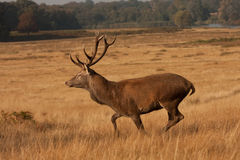 Deer with antlers running Royalty Free Stock Photography