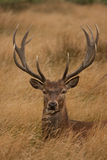 Deer with antlers, sitting Royalty Free Stock Images