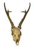 Deer antlers with skull Royalty Free Stock Image