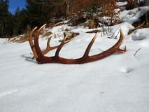 Deer antlers in the snow. Red deer antlers in the snow royalty free stock photography