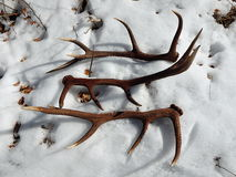 Deer antlers in the snow. Red deer antlers in the snow royalty free stock photos