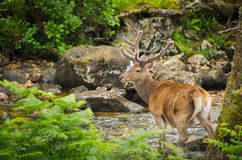 Deer with antlers watching you at a stream. A deer with antlers watching you at a stream stock photo