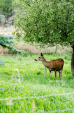 Deer by Apple Tree Stock Image