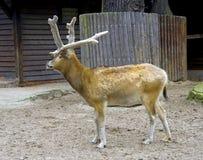 Deer artiodactyl antler hair symbol Stock Photo
