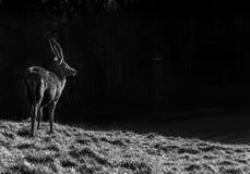 Deer in Ashton Court, Bristol(animals). Royalty Free Stock Photo