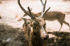 A Deer. Royalty Free Stock Image