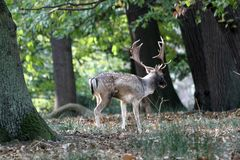 Deer in Autumn Royalty Free Stock Image