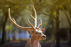Deer in autumn Stock Images