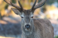 Deer in the autumn Royalty Free Stock Photo