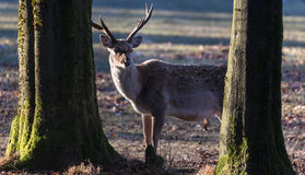 Deer in the autumn Stock Photography