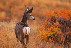 Deer in the autumn colors stock photos