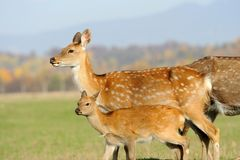 Deer in autumn field Stock Photography