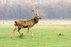 Deer in autumn field Royalty Free Stock Photos