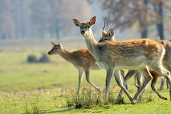 Deer in autumn field Stock Photos