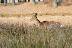 Deer in autumn field Royalty Free Stock Photo