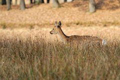 Deer in autumn field Royalty Free Stock Image