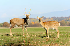 Deer in autumn field Royalty Free Stock Images