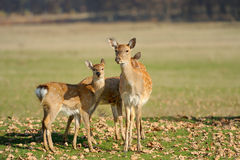 Deer in autumn field Royalty Free Stock Photography
