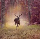 Deer in autumn forest Stock Photography
