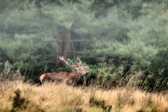 Deer. In the autumn mist Royalty Free Stock Photos