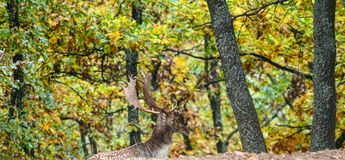 Deer. In the autumn mist Royalty Free Stock Image