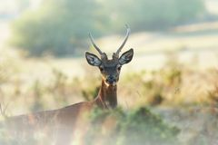 Deer. In the autumn mist Royalty Free Stock Photography