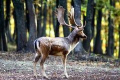 Deer. In the autumn mist Stock Photos
