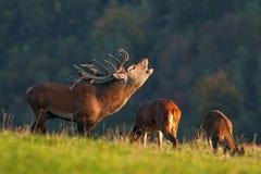 Red deer, cervus elaphus, Czech republic. Deer in autumn. Roar male. Wildlife, life. Trophy male. King of the forest Royalty Free Stock Photo