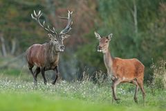 Red deer, cervus elaphus, Czech republic. Deer in autumn. Roar male. Wildlife, life. Trophy male. King of the forest Royalty Free Stock Photos