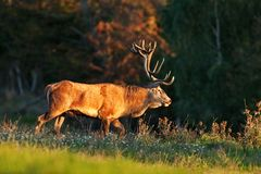 Red deer, cervus elaphus, Czech republic. Deer in autumn. Roar male. Wildlife, life. Trophy male. King of the forest Stock Image