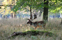 A deer in the autumn sun. The deer shows up in a forest clearing Royalty Free Stock Images