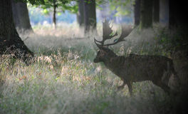 A deer in the autumn sun. The deer shows up in a forest clearing Stock Photo