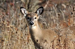 Deer in Autumn. White tailed deer in the fall Royalty Free Stock Photography