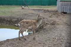 DEER BABY. The baby deer is in the pen near the pond and looks into the distance Stock Photography