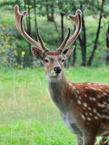 Deer on a background of  nature. Close-up young whitetail deer standing in summer wood Royalty Free Stock Photo
