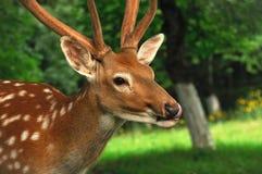 Deer. Royalty Free Stock Photo