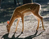 Deer in backlighting 1 Stock Photos