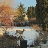 Deer in backyard on sunny winter day Stock Photography