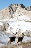 Deer in Badlands National Park - South Dakota, USA Royalty Free Stock Image